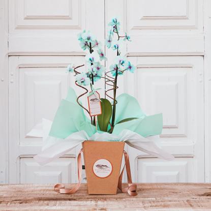 Imagem de Phalaenopsis Blue Mystique